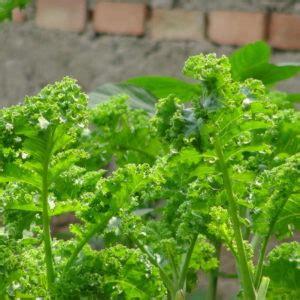 grünkohl wann ernten topinambur wunderknolle und bl 252 tenpracht im garten plantura