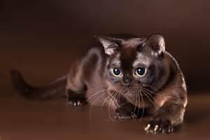 burmese burmese cat chocolate color view hd wallpaper