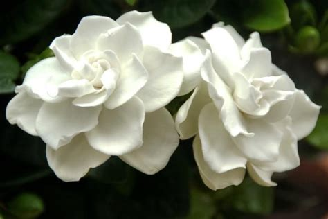 Gardenia Upkeep 1000 Ideas About Gardenia Bush On Gardenias
