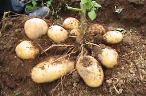 kentang dikenal lezat  memiliki manfaat