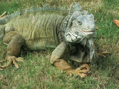 do iguanas change color notice how they change color to match their environment