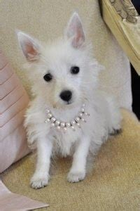 puppies for sale gainesville fl best 25 westie puppies for sale ideas on apple chihuahua apple