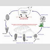 liver-flukes-life-cycle