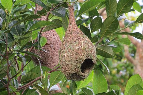 weaver bird nest www pixshark com images galleries