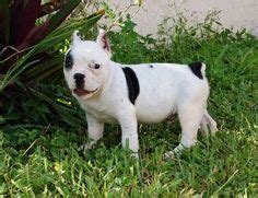 shorty bull puppies for sale shorty bulls on buses php and dogs