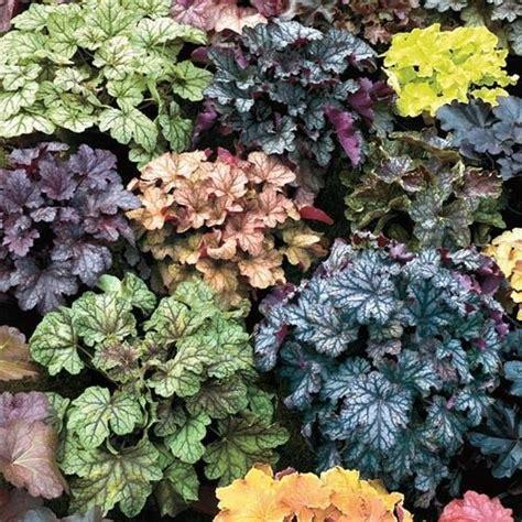 Benihbijibibit Bunga Heuchera Mix 1 67 best coral bells images on coral bells heuchera and shadow plants