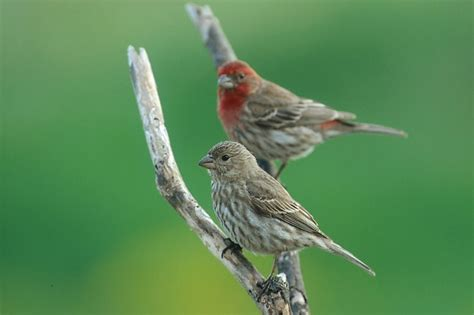 house finch lifespan 17 best images about bird life nests eggs on pinterest