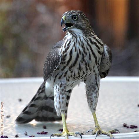 cooper s hawk juvenile juvenile cooper s hawk