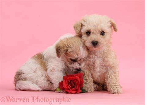 Bathroom Designer dogs cute bichon x yorkie pups with rose on pink
