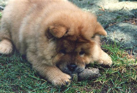 what is puppy chow file chow chow puppy jpg