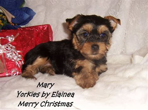yorkie breeders in arkansas 1000 images about tiny yorkie puppies for sale in arkansas on