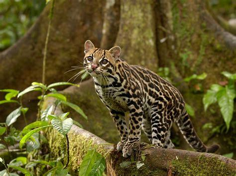 webshots cats ocelot in the amazon rainforest ecuador webshots