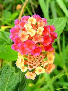 file wild flowers marble mountains danang vietnam 2560417462 jpg wikimedia commons