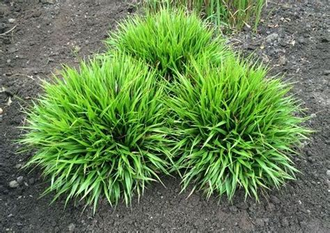 bodembedekkers schaduw beloopbaar 25 beste idee 235 n over bodembedekkers op pinterest