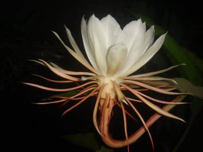 gambar gambar bunga wijaya kusuma gambar foto wallpaper