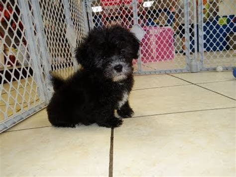 puppies for sale in aiken sc fort beaufort