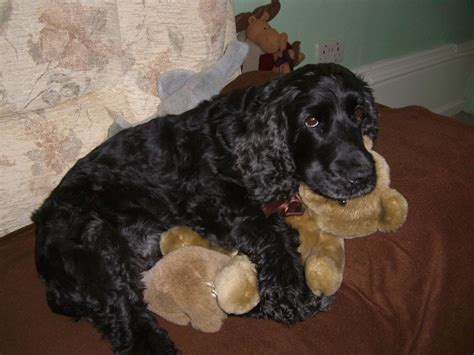 English Cocker Spaniel Dogs images
