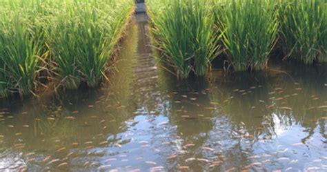 Agribisnis Ikan Mujair minapadi dengan ikan nila gerak maju pertanian