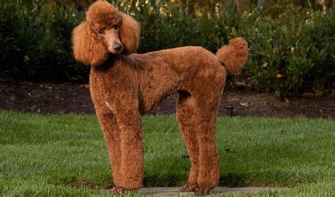 photoes of different types of poddles poodle breed information