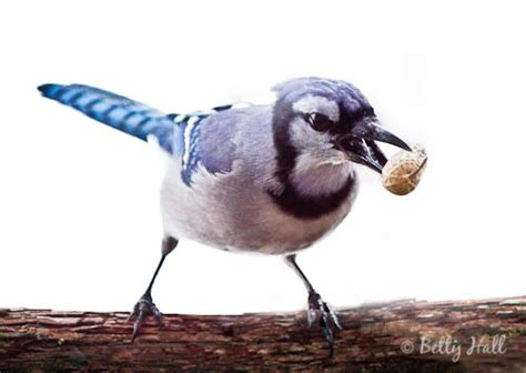 do blue jays like peanuts blue the peanut bandit betty photography
