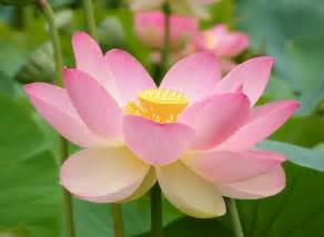What Is The Scientific Name Of Lotus Flower Nelumbo