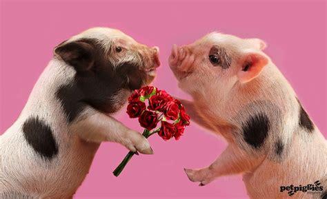 s day valen swine s day