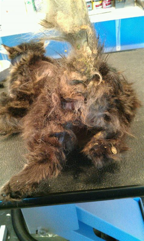 How To Trim Matted Cat Hair by I M A Cat Groomer And These Are The Horrors I Ve Seen