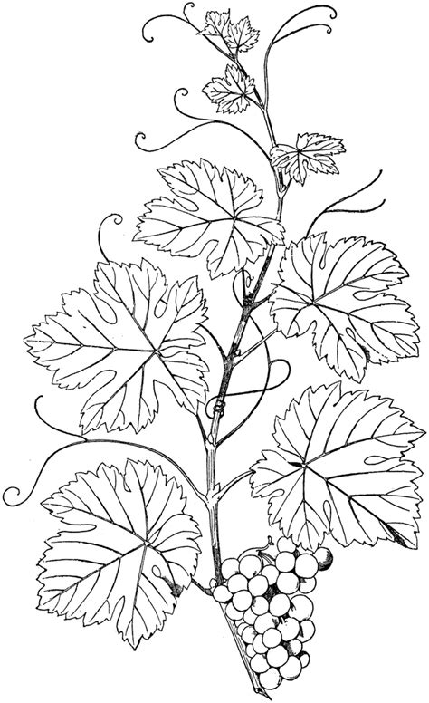 Coloring Page Vine And Branches by Vine And Branches Pages Coloring Pages