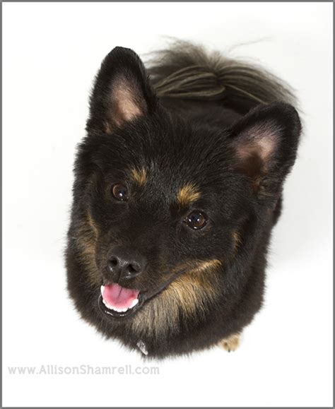 san diego pomeranian turbo the san diego pomeranian mix in the studio san diego pet photographer
