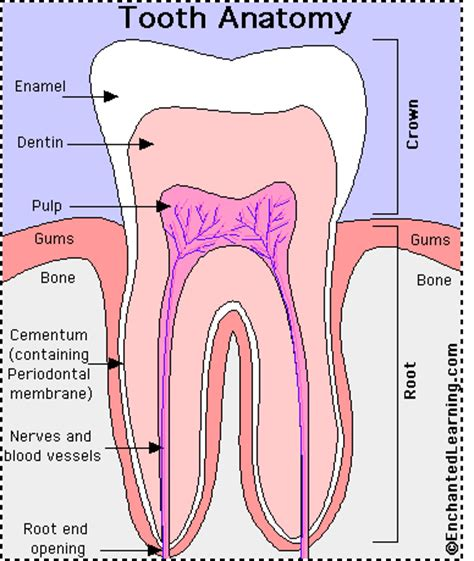 teeth diagram tooth anatomy enchantedlearning