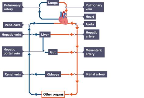 gcse diagram lungs diagram labeled gcse choice image how to guide and