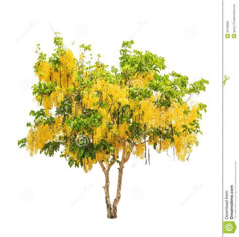 doccia dorata albero di doccia dorata fistola della cassia immagine