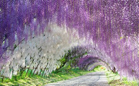 wisteria flower tunnel in japan wisteria tree tunnel wallpaper