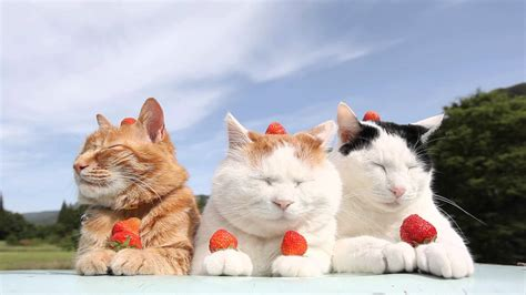 is it ok for a to eat cat food are strawberries safe for cats to eat catlovehub