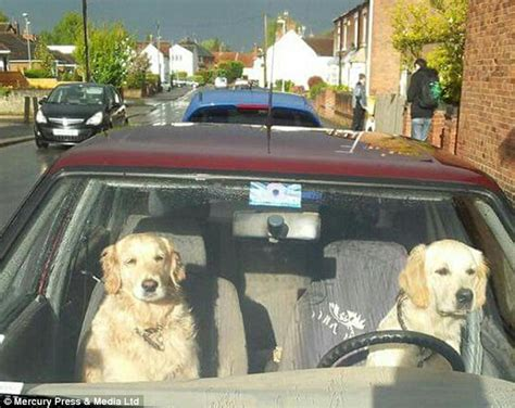golden retriever driving golden retrievers in east leake are snapped driving