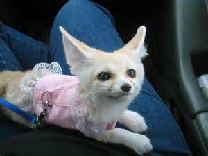 Fennec foxes and other exotic pets for sale dallas pt169