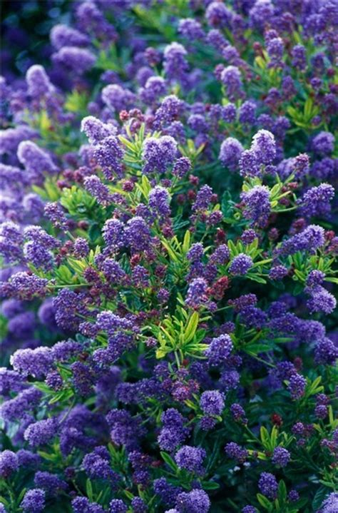 shrub with blue flowers ceanothus concha californian lilac is an evergreen