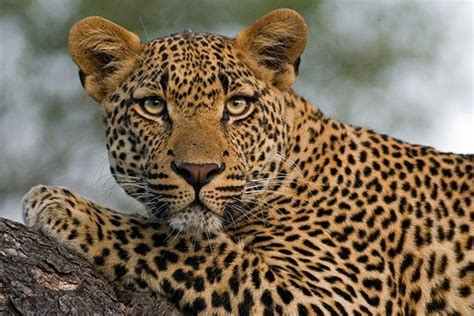 whats the difference between a leopard and a jaguar what s the difference between a leopard and a cheetah