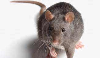 Rocky Mountain Cabinets How To Find Reputed Pest Control Company For Rat Problems