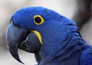 Pics photos blue macaws for sale macaws for adoption blue macaw bird