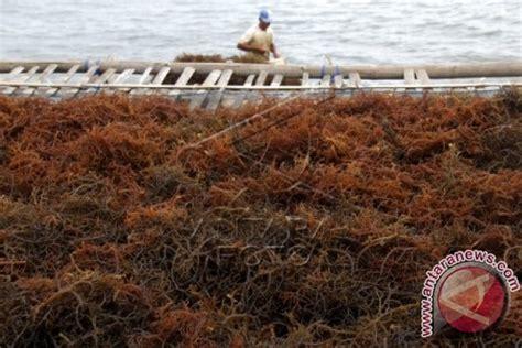 Bibit Rumput Gajah Di Makassar bpbap takalar kembangkan kultur jaringan rumput laut