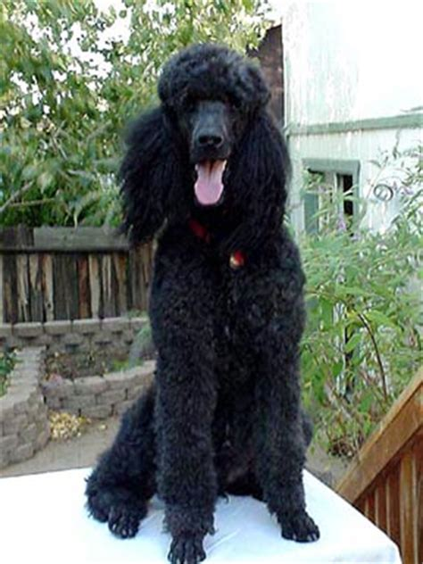 puppies bend oregon standard poodle puppies bend oregon dogs our friends photo