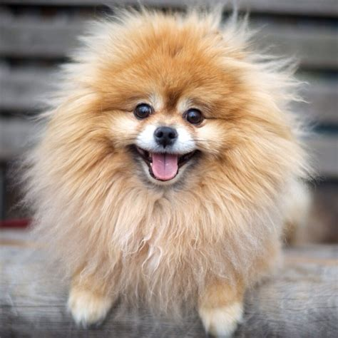 haired pomeranian pomeranian and chihuahua mix breed breeds picture