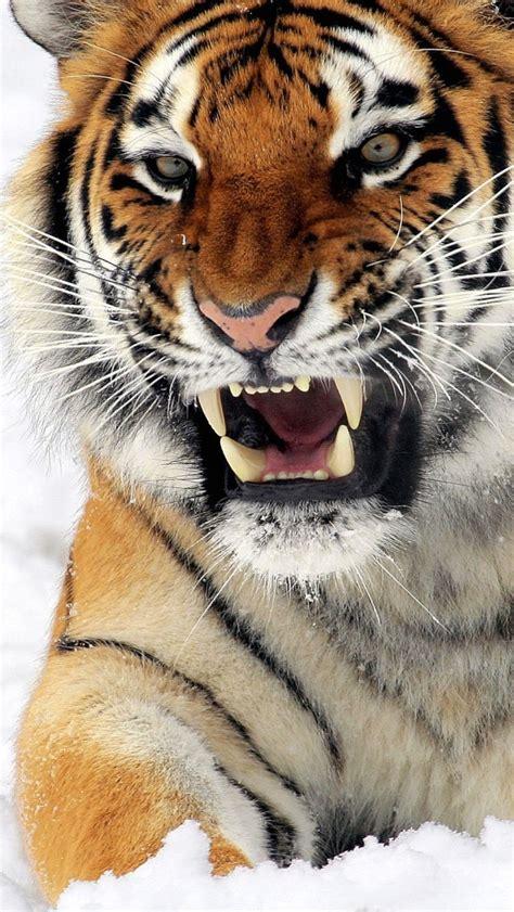 wallpaper iphone 6 tiger wallpaper iphone 5 s tiger 640 x 1136