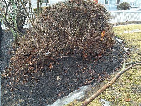 reed s garden ramblings bad mulch lousy application dead plants