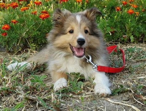free sheltie puppies mini sheltie puppies www pixshark images galleries with a bite