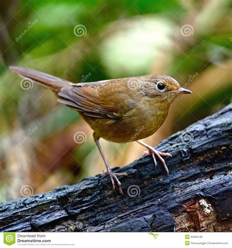 female white bellied redstart royalty free stock photos