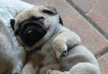 pug puppies for sale alabama the cutest pugs in the world pugs home