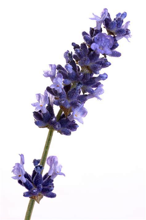 hecate s garden herblore lavender