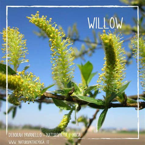 fiori di bach willow fiori di bach deborah pavanello